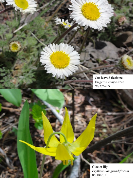 Cut-leaf fleabane and glacier lily
